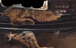 Râsul care râde la urmă – O felină a supraviețuit unei călătorii în grila unei Toyota Prius