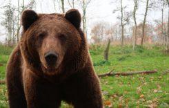 Un urs a fost accidentat grav de o mașină, pe DN 1: Ce se întâmplă cu animalul